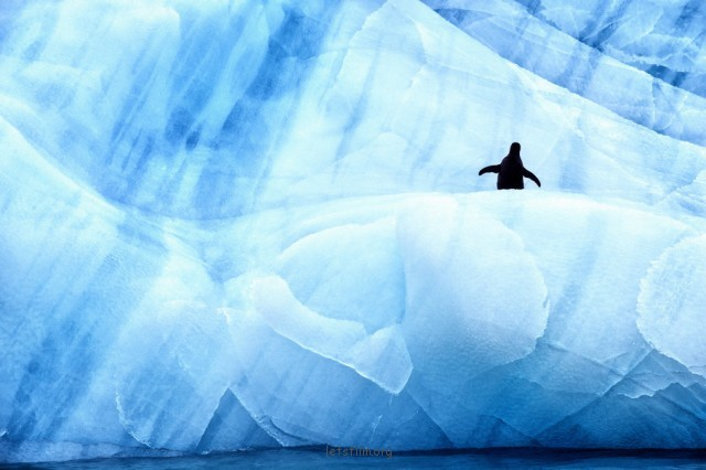 Antarctic-Wildlife-by-Justin-Hofman-3-640x426
