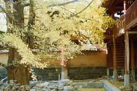 投稿作品No.824 银杏之村与孤独绽放的油菜花田
