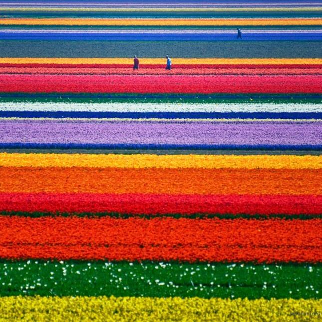 (2) 郁金香田 - 荷兰 Photo by Allard Schager