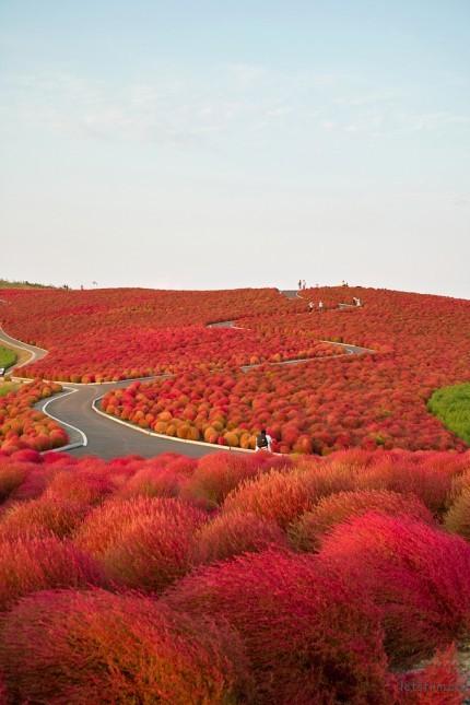 (4) Hitachi Seaside Park - 日本 Photo by nipomen2