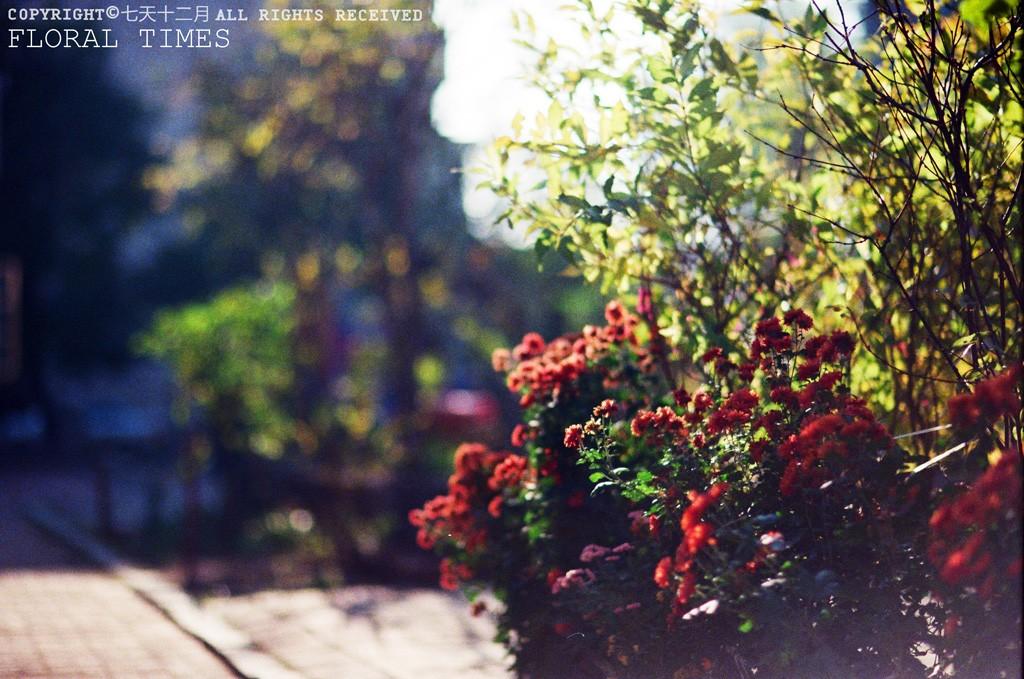 老式小区里的经典花卉。