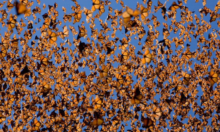 Monarch Butterflies by WWL