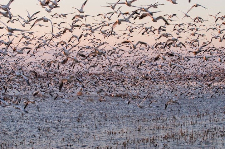 Snow Geese by Phil Goble