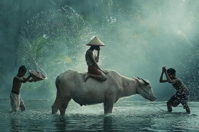 水牛 印尼