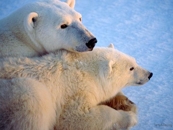 canada-polar-bears_13419_600x450