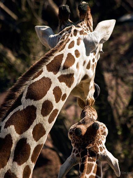 giraffe-mother-calf-nuzzle_19887_600x450