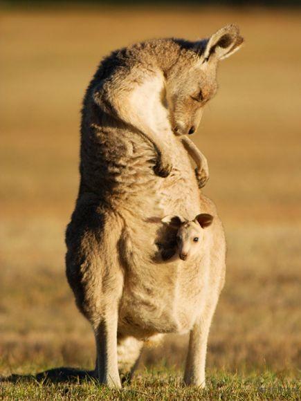 kangaroo-and-joey-australia_19889_600x450