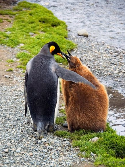 king-penguin-mother-and-chick_19890_600x450