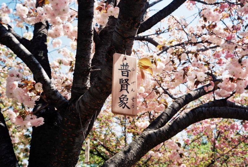 摄于2014年4月,日本大阪,造币局樱花通道