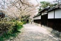 投稿作品No.1635 四月,樱花回忆
