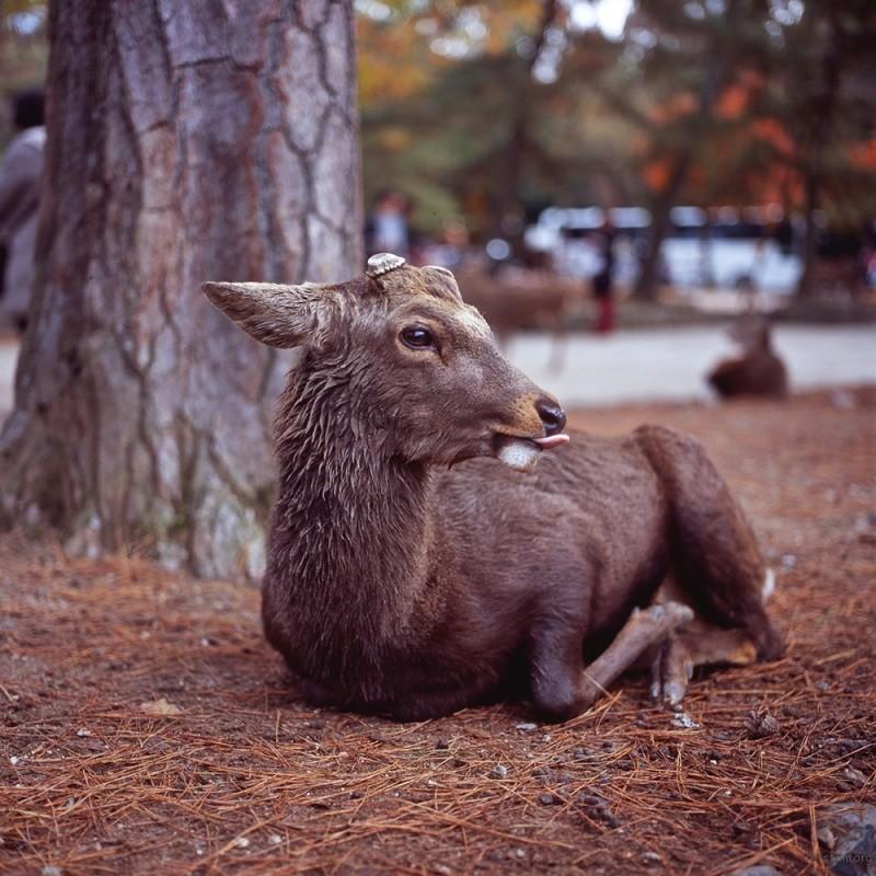 奈良 奈良公園  HASSELBLAD 500C/M ZEISS PLANAR T* 80/2.8 FUJIFILM RVP100F