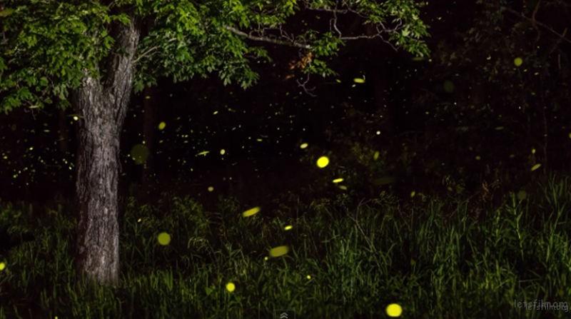 Timelapse-Scenes-of-Swarming-Fireflies-4-640x358