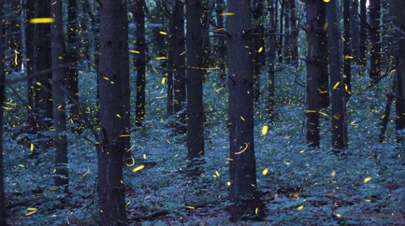 Timelapse-Scenes-of-Swarming-Fireflies-8-640x357