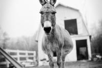 拍摄重获新生的农场动物