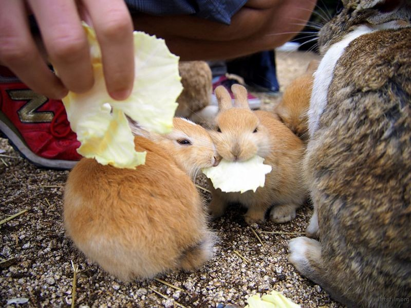 cute-bunnies-rabbit-island-okunoshima-12