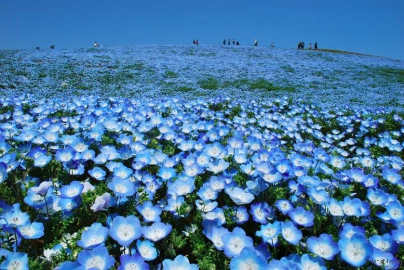 日本的花海乐园—日立海滨公园