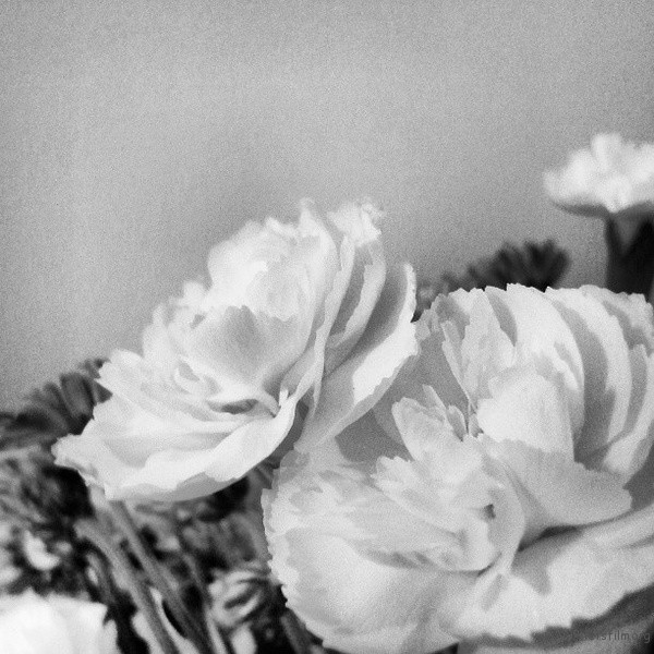 龙胆,黑白,作者:叶飞 / Y.Phoenix