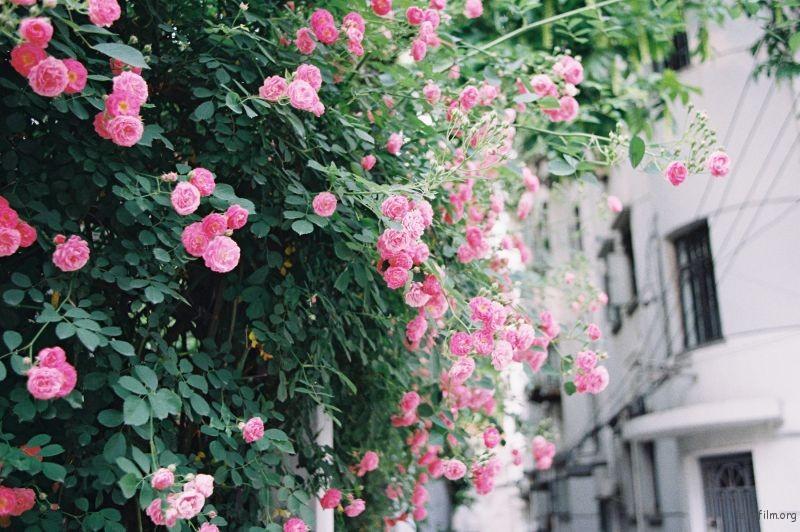 春天里的蔷薇