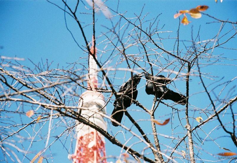 Nikon F80 摄于东京 东京塔下 日本的乌鸦非常多,日本人把乌鸦当做吉祥鸟,因为它们知道反哺。