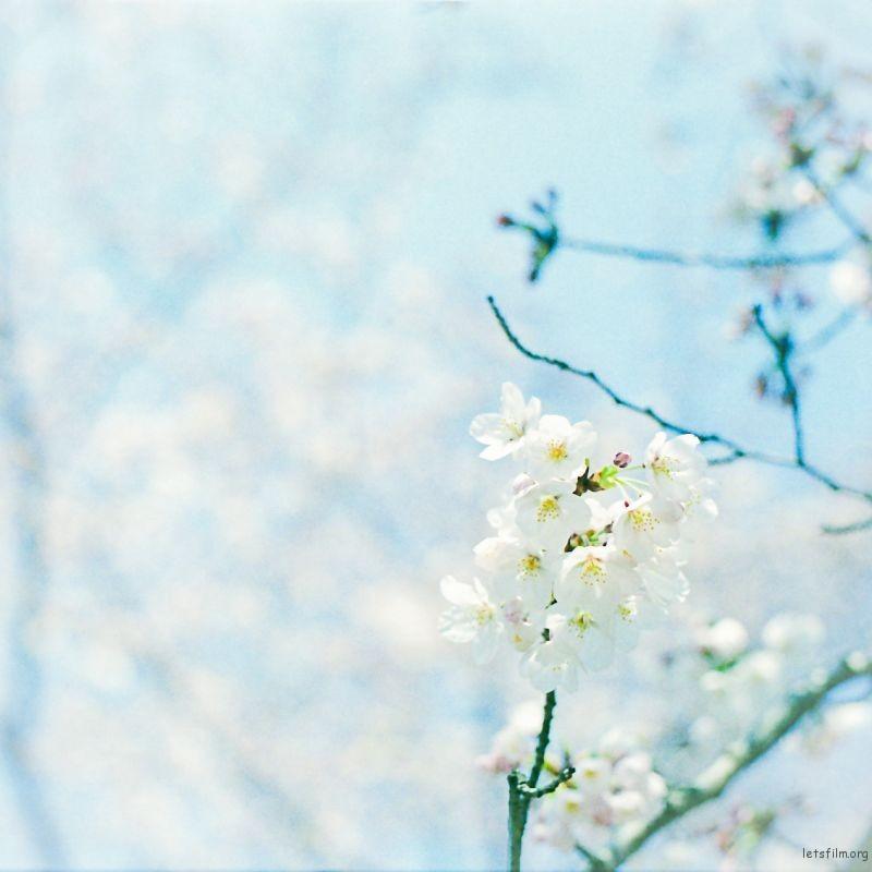 樱花 (1)