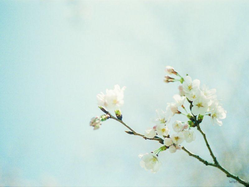 樱花 (3)