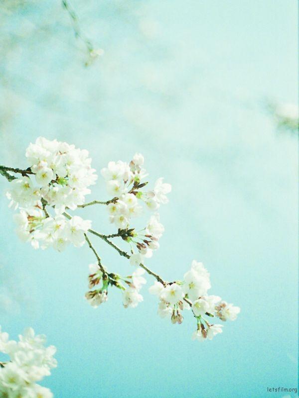 樱花 (4)