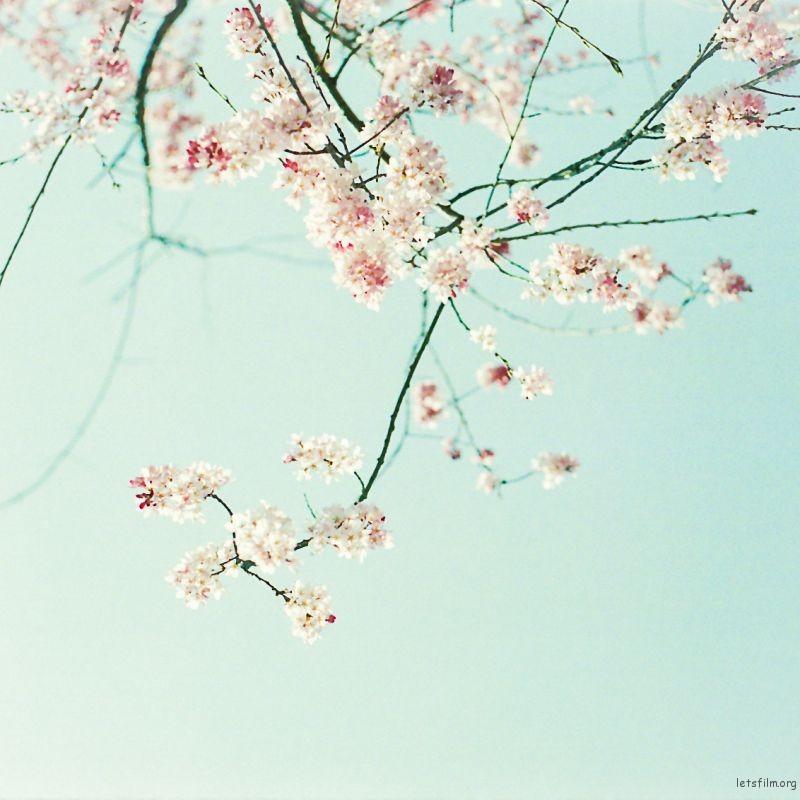 樱花 (5)