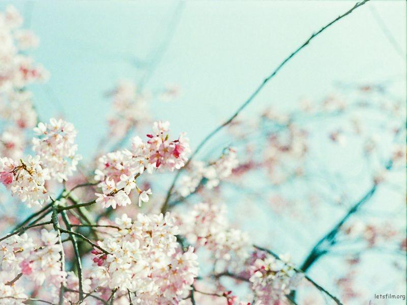 樱花 (6)