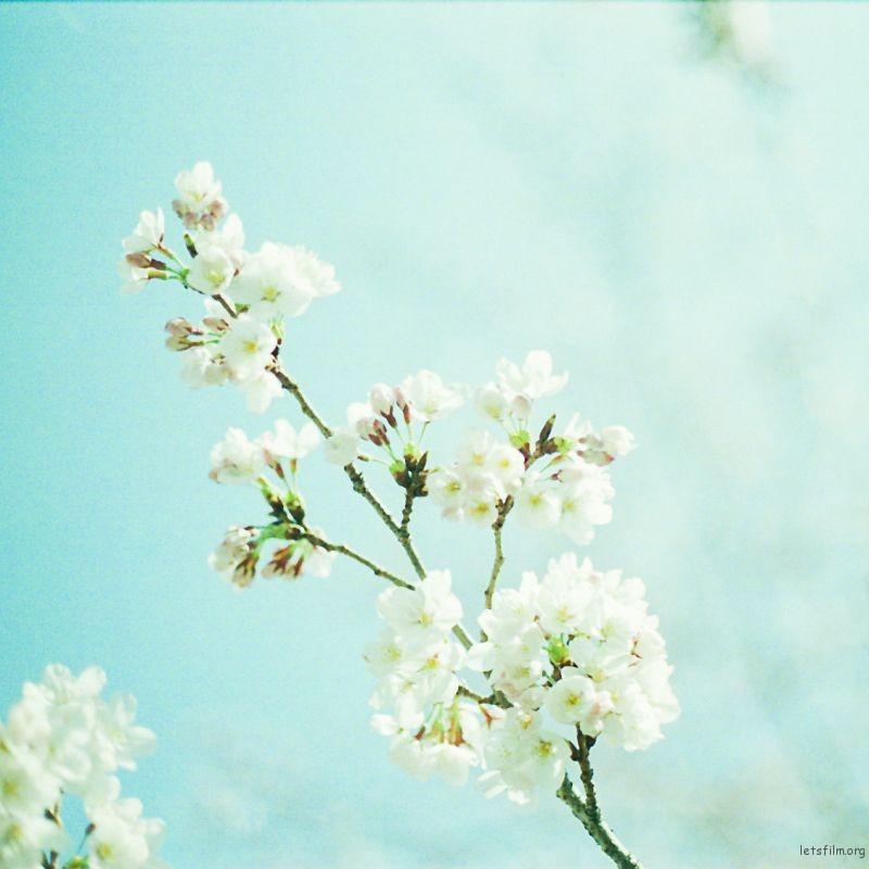 樱花 (7)