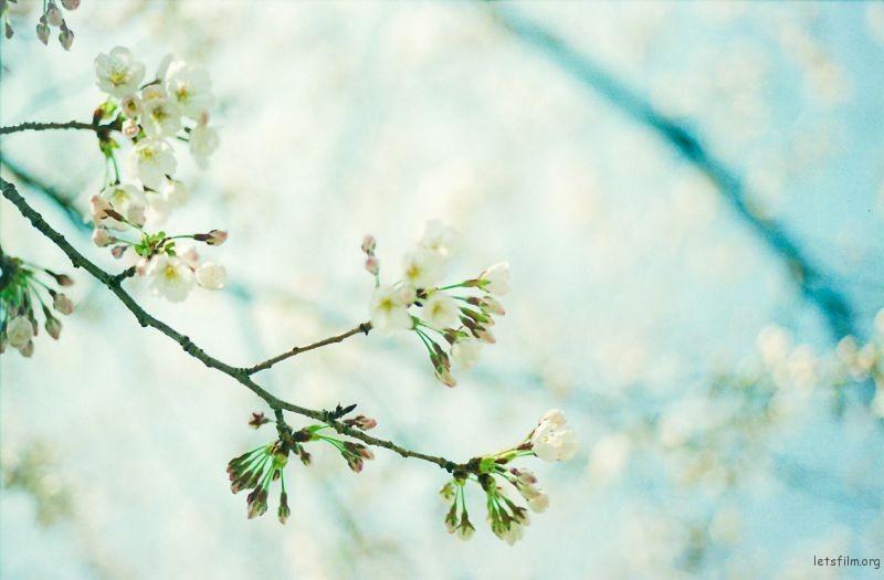 樱花 (8)