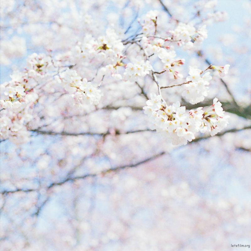 樱花 (9)