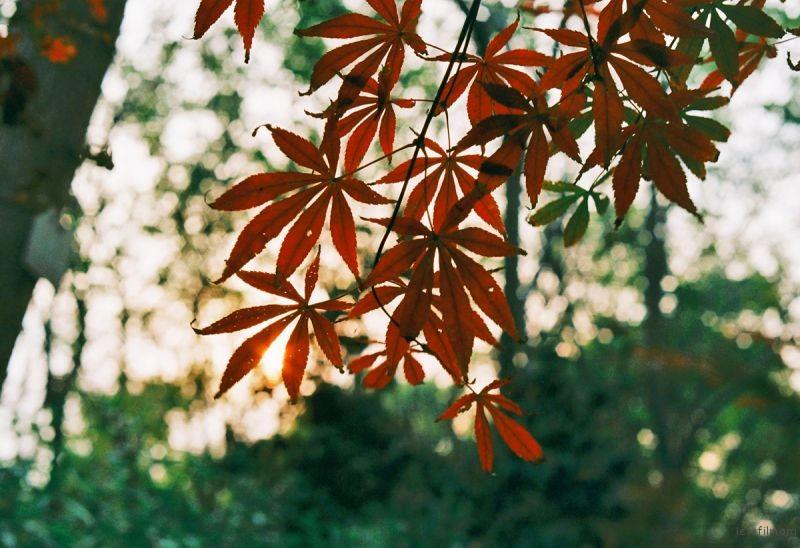 红枫遗漏夕阳