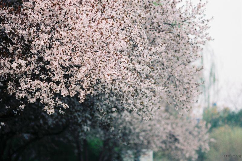 f100樱花-5