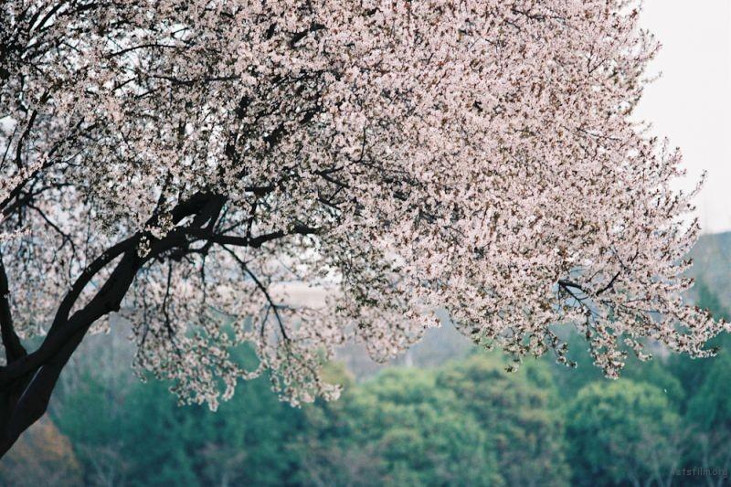 f100樱花-6