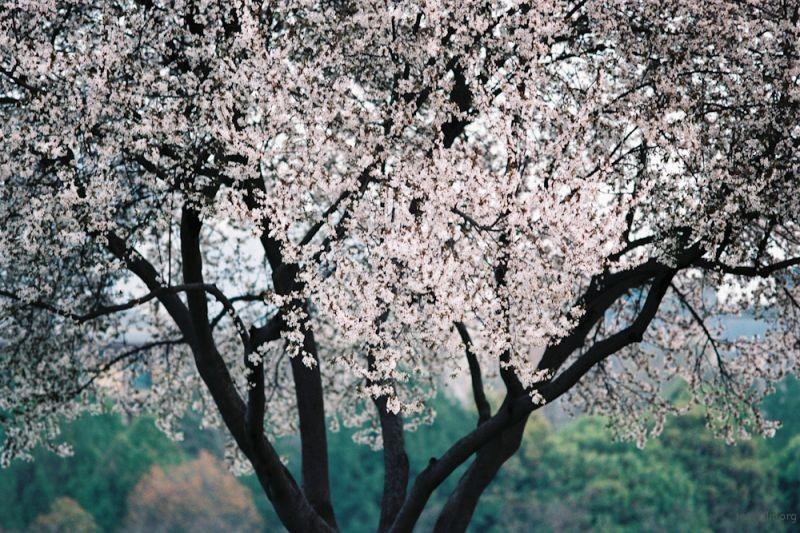 f100樱花-7