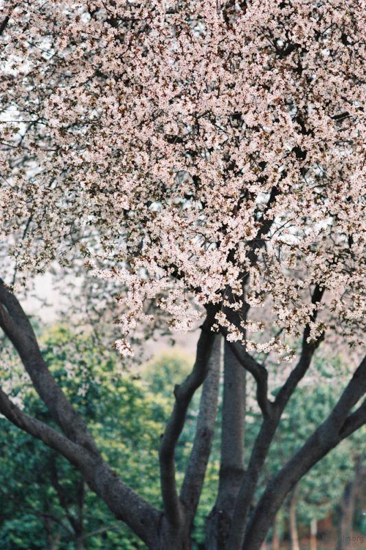 f100樱花-8