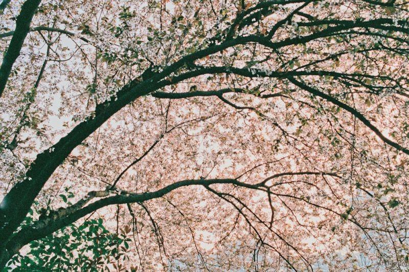f100樱花
