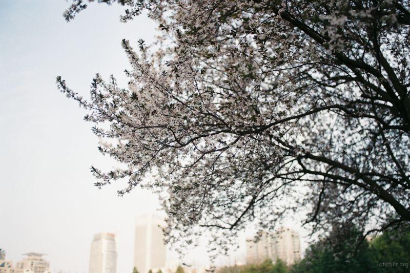 fm2樱花-15