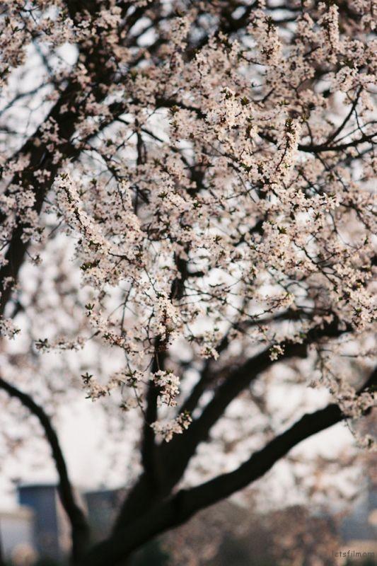 fm2樱花-17