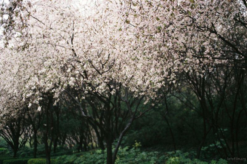 fm2樱花-6