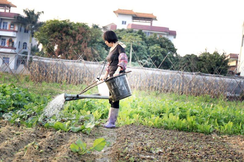 给菜浇水的老妈(2)