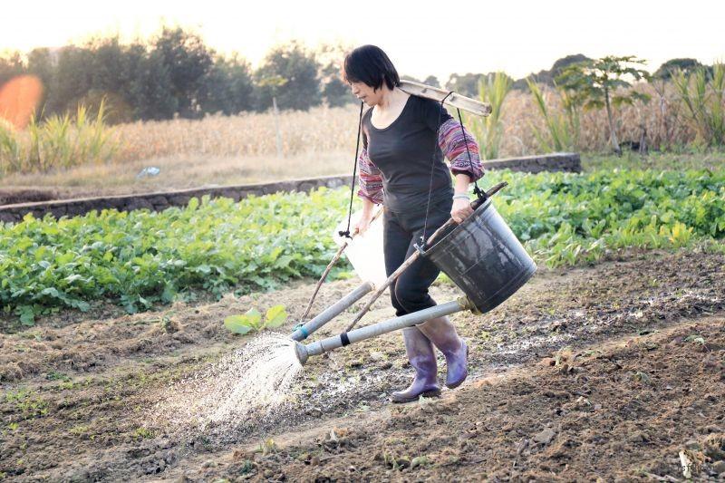 给菜浇水的老妈(1)