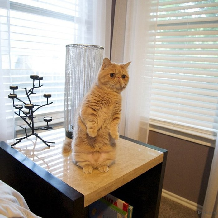 adaymag-meet-george-the-adorable-cat-who-loves-standing-like-a-human-03