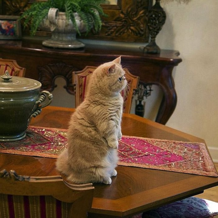 adaymag-meet-george-the-adorable-cat-who-loves-standing-like-a-human-07
