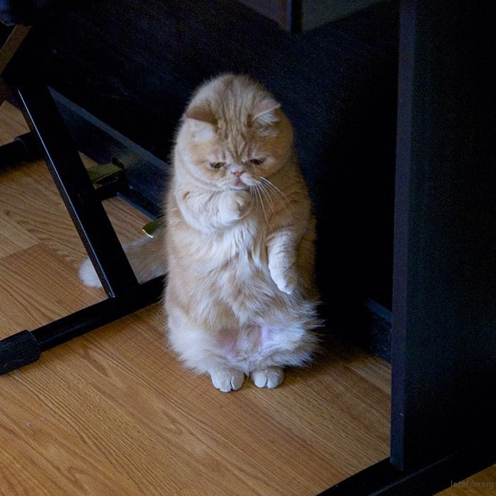 adaymag-meet-george-the-adorable-cat-who-loves-standing-like-a-human-10