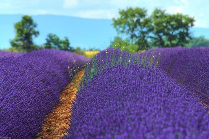lavenderfields3marcovdz