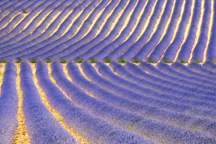 lavenderfields4DeviantTeddine