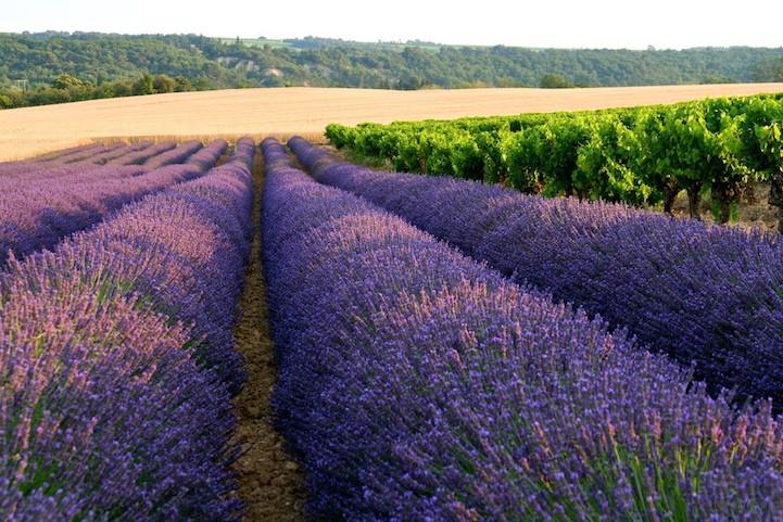 lavenderfields5patriciastevens