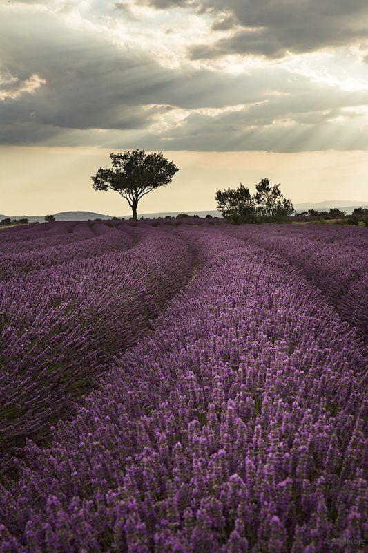 lavenderfields6patriciathomas