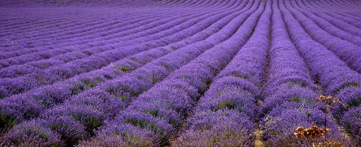 lavenderfields8garyneave